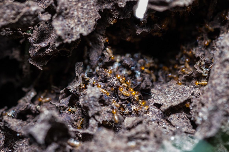 Jedli jste někdy termity?