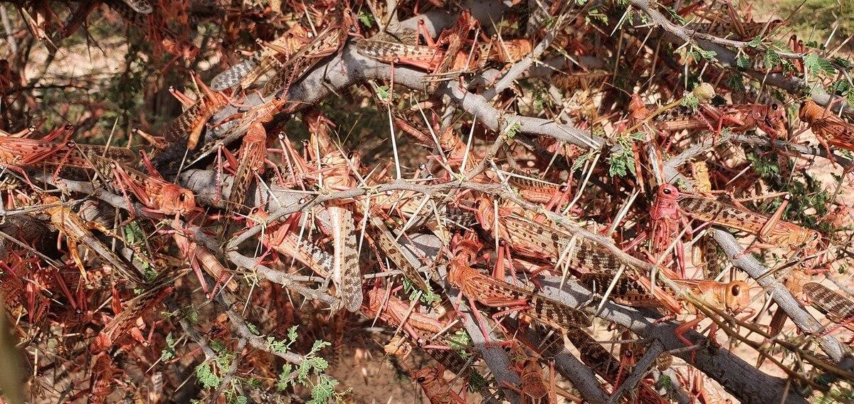 Roj kobylek biblických rozměrů po sobě zanechal jen spoušť